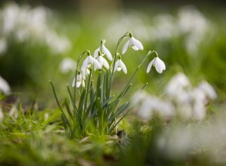 Snowdrops at Dunham Massey, Cheshire