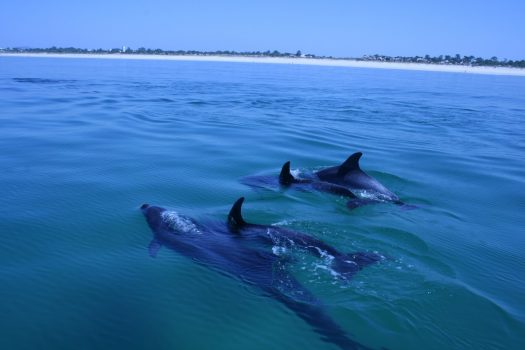 Dolphins, Portugal