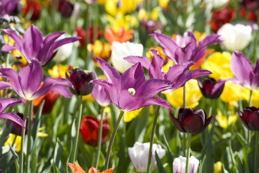Floriade, Amsterdam, Almere, Netherlands - Lily Tulip Mix (NCN)