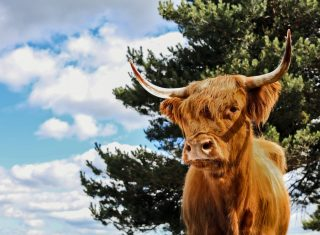 Aberdeenshire Highland Cattle, Aberdeen, Scotland