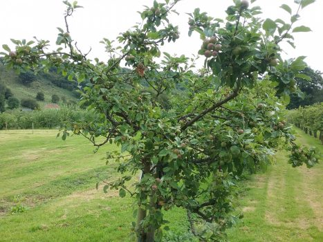 England, North Yorkshire, Ampleforth Abbey, Apple Orchard, ncn