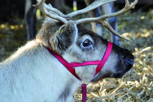 Blists-Hill-Shropshire-Reindeers-©Ironbridge-Gorge-Museums.jpg