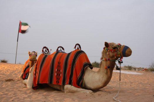 Camel, Dubai, UAE