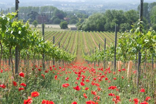 Chapel Down, Kent - Vineyards - Kit's Coty Vineyard PoppiesChapel Down, Kent - Vineyards - Kit's Coty Vineyard Poppies