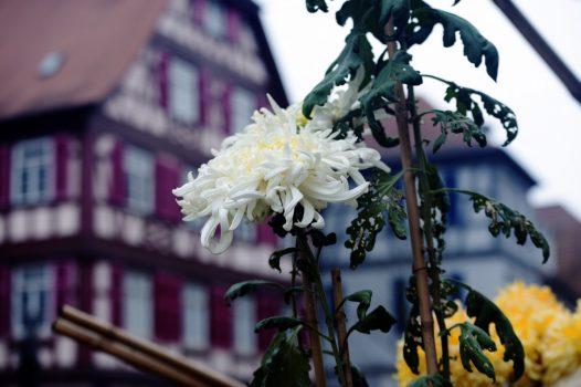 Chrysanthemum Lahr, Germany - Japanese Special Culture Bale (NCN)