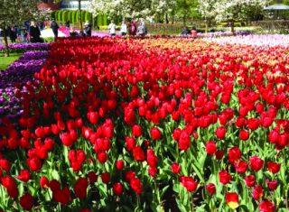 Dutch Bulbfields flowers