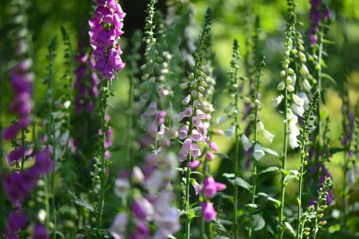 Foxgloves © Kew Gardens