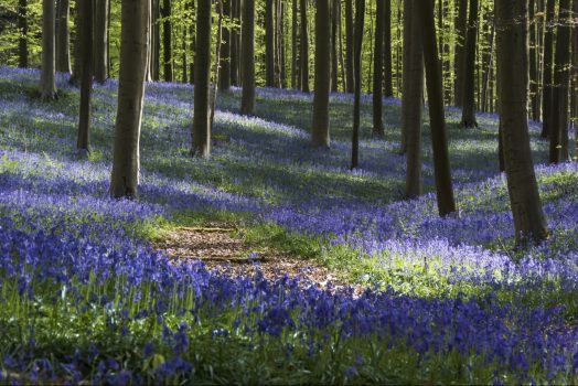 Belgium, Hallerbos, Bluebells, blue forest, group travel, group tour, © www.hallerbos.be