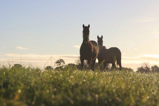 Irish National Stud & Gardens, Co Kildare, Ireland - Foals at Sunrise