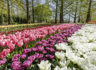 Keukenhof gardens, tulips, netherlands, Holland for groups, NCN