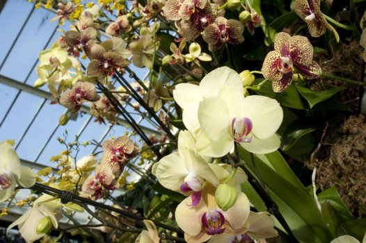 Kew Gardens, London - Orchid festival in Winter ©citycruises.com