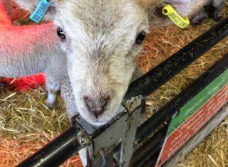 Lamb at Wroxham Barns