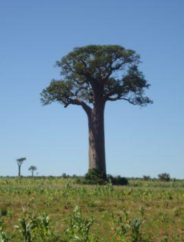 Madagascar, Baobab, nature, landscape, group travel,