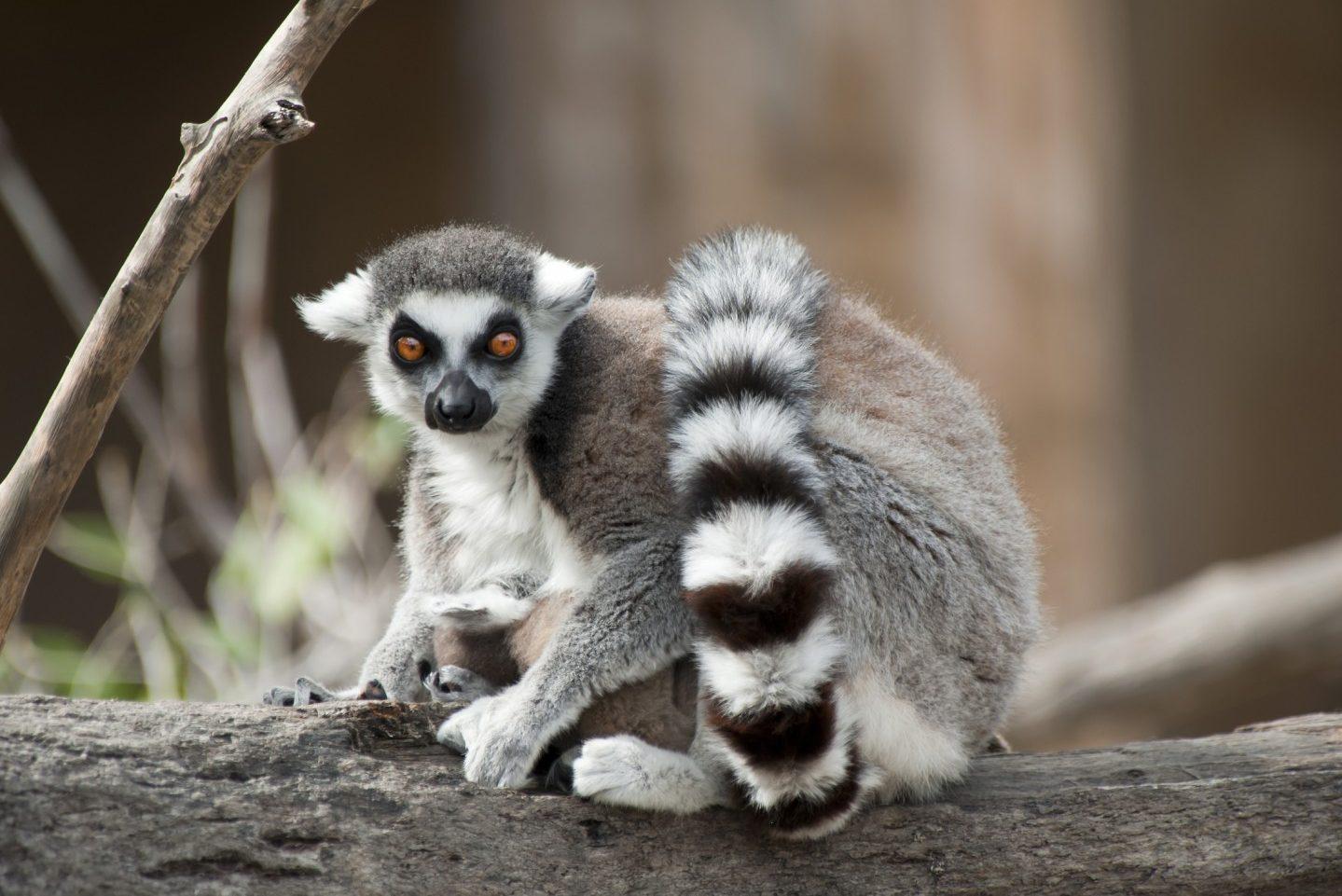 Africa, Madagascar, lemur, group travel, group tour