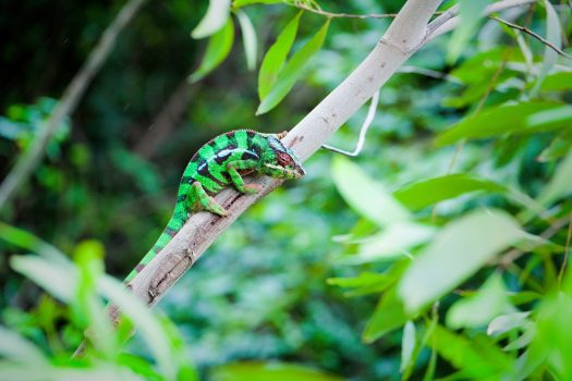 Africa, Madagascar, chameleon, group travel,