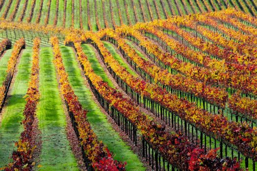 USA United States of America, California, Napa Valley, Vineyard, wine, group tour, group travel, (NCN)