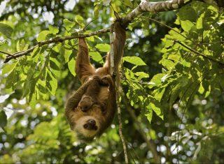 Panama, Central America - Wildlife-Monkey © Owner www.panamajourneys.com