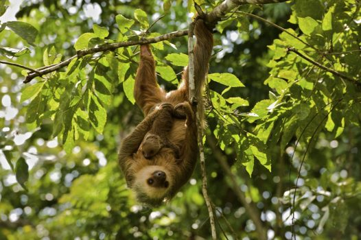 Panama, rainforest, wildlife, sloth © Owner www.panamajourneys.com