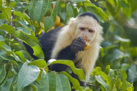 Panama, rainforest, wildlife, Capuchin monkey © Owner www.panamajourneys.com