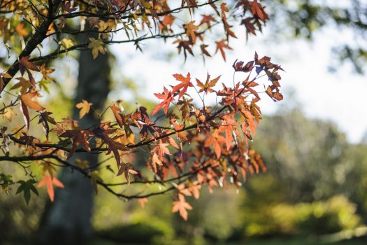 RHS Garden Rosemoor, Devon - 'Worplesdon' leaves in Autumn © RHS, Jason Ingram