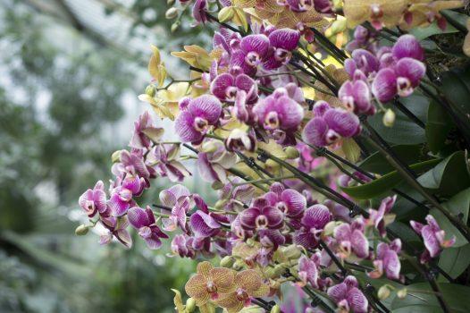 Royal Botanic Gardens, Kew, Richmond, London - Phalaenopsis columns at Orchid Festival © Jeff Eden, RBG Kew