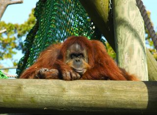 St Helier Jersey Highlights Sumatran Orangutan at Durrell Wildlife Conservation Trust © Jersey Tourism