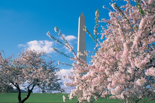 Cherry Blossoms in Washington DC, cherry blossom festival for groups, usa holiday for groups, washington for groups, visit dc © Courtesy of washington.org