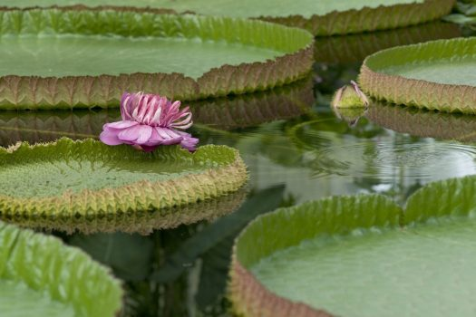 Giant Waterlillies © Kew Gardens