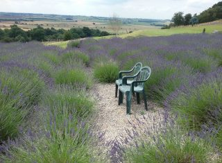 England, North Yorkshire, Terrington, Yorkshire Lavender, ncn